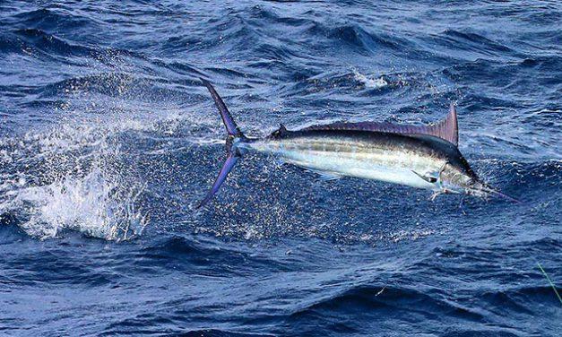 Auspicious se condecora ganadores del Casa De Campo International Blue Marlin Classic