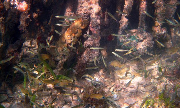 Incredible Marine Habitats: Mangroves «Rainforests of the Sea»