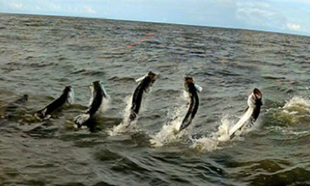 Pesca de sábalo en Costa Rica. Barra del Colorado