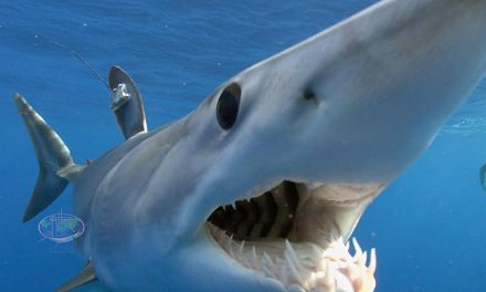 Nova Southeastern University's Guy Harvey Research Institute to Conduct One-of-a-Kind Shark Race for Conservation Science