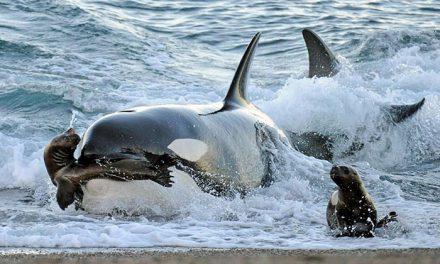 La Orca, asesina de los mares