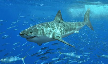 The Great White Shark: A Threatened Species