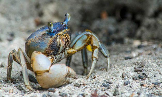 El cangrejo de tierra cubano