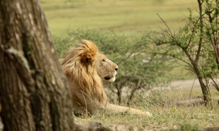 The Lion King of the African Plains