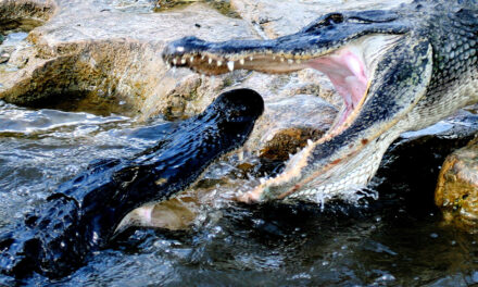 The Alligator A Keystone Species of the Everglades